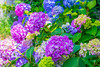 _DSC5222 (sayo-tsu) Tags: hydrangea 紫陽花 アジサイ saitama sattecity gongendopark 権現堂