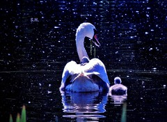 Into their Swan Lake of Magic (pianocats16 by the Sea) Tags: swan mom mother cygnets swanling baby cute tiny water lake