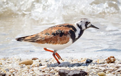 Ruddy Turnstone feeding on the beach (tresed47) Tags: 2017 201705may 20170517snewjerseybirds birds canon7d capemay capemaynwr content cooksbeach folder newjersey peterscamera petersphotos places ruddyturnstone sanderling shorebirds takenby us ngc