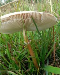 cogumelo (jakza - Jaque Zattera) Tags: cogumelo fungo solo grama debaixo