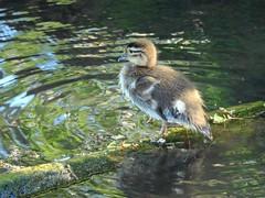 Mandarin duckling (PhotoLoonie) Tags: mandarinduck duckling nature wildlife spring britishwildlife