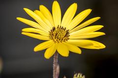 "May in North Yorkshire (johnhjic) Tags: johnhjic nikon flower flowers petal petals macro location yellow black d800e garden plant pot potted elinchrom quadra ""elinchromquadra"" ring flash ""ringflash"" ringflash"