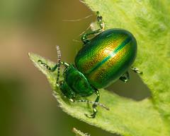Tansy Beetle - Chrysolina graminis (Kevin Lunham - Pan Species Listing) Tags: tansy beetle chrysolina graminis tansybeetle chrysolinagraminis woodwalton fen
