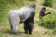2017-06-05-12h49m27.BL7R7123 (A.J. Haverkamp) Tags: bokito canonef100400mmf4556lisiiusmlens rotterdam zuidholland netherlands zoo dierentuin blijdorp diergaardeblijdorp httpwwwdiergaardeblijdorpnl gorilla westelijkelaaglandgorilla dob14031996 pobberlingermany nl
