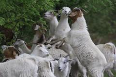 Ziegenleiter (steffiwacker) Tags: tiere herde ziegenbock