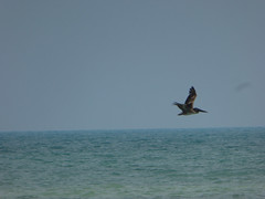 KeyWestDay115 (alicia.garbelman) Tags: florida keys keywest birds pelicans