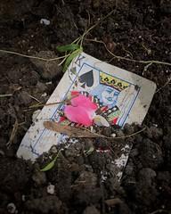 The battered king (bratli) Tags: spades spade king earth soil 52weeksof2017 burried bleedingheart flower