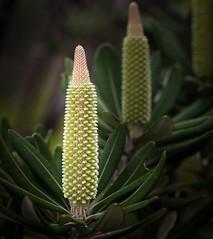 Banksia inflorescence (loveexploring) Tags: australia australiannativeplant girraweennp banksia cone flower flowerspike floweringtree inflorescence proteaceae tree