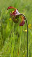 Pitcher Plant Flower (stephaniepluscht) Tags: alabama 2017 graham creek nature preserve foley wildflowers wildflower pitcher plant plants sarracenia bog