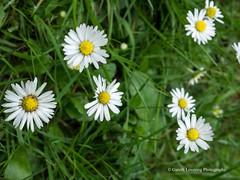 Clyne Gardens 2017 06 01 #25 (Gareth Lovering Photography 3,000,594 views.) Tags: clyne clyneinbloom botanical gardens flowers macro swansea olympus omdem10ii 30mm 30mmmacro garethloveringphotography