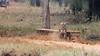 Territory marking (Thomas Retterath) Tags: tree natur nature baum 2017 wald forest tadoba asien asia indien india thomasretterath wildlife roteliste endangeredspecies gefährdetetierart animals tiere redlist bengalischertiger tiger felidae raubtiere predator carnivore säugetier mammals pantheratigristigris