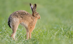 Stretching Brown Hare (Wouter's Wildlife Photography) Tags: brownhare hare lepuseuropaeus animal mammal nature naturephotography wildlife wildlifephotography stretching billund