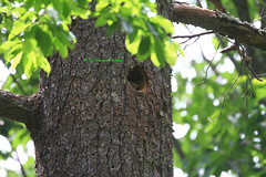 Get out  of Our House ! (tripod_treker) Tags: squirel trees leaves forest