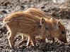 Everzwijn Anholt JN6A8326 (joankok) Tags: zwijn wildzwijn everzwijn wildboar boar mammal zoogdier dier animal europe europa anholt