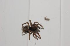 Sitticus pubescens (Procrustes2007) Tags: spider newspeciesseenmay2017 nikond50 nikoncoolpixs4 greatcornard longmelford suffolk uk