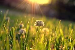 presence (joy.jordan) Tags: clover flower grass field sunrise light bokeh spring nature