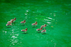 Ducklings (Kou Thao) Tags: animals nature wildlife hawaii scenery photograhy kokohead adventure vintage vibes tropical airplane sky sunset clouds traveler luau horse jungle