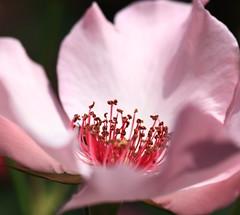 Rose / 薔薇(ばら) (TANAKA Juuyoh (田中十洋)) Tags: 5d markii hi high res hires resolution 高精細 高画質 shizuoka atami akao herb rose garden 静岡 熱海 しずおか あたみ 薔薇 ばら バラ pink ピンク 桃色 ももいろ