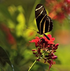 Hello Heliconius (ACEZandEIGHTZ) Tags: garden nikon d3200 bokeh zebralongwing heliconius nature backyard lepidoptera jatropha flower coth coth5 sunrays5 saariysqualitypictures charithonia
