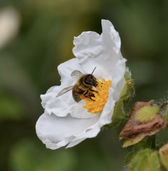 Collecting pollen. Explore 3/6/2017 (MJ Harbey) Tags: pollen bee flower kewgardens white whiteflower garden
