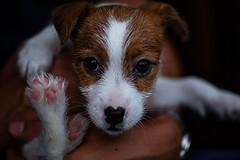 3 Years Ago Today (moaan) Tags: osaka japan jp dog puppy jackrussellterrier kinoko memory 3yearsago bokeh bokehphotography dof utata 2017 canoneos5dmarkiii zeissmakroplanart2100ze makroplanar2100