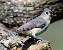DSC_0961=3TTitmouse (laurie.mccarty) Tags: avian animal tuftedtitmouse titmouse nature wildlife outdoor nikond810 bird birding birdwatcher birdwatching