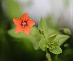 We seek him here...We seek him there ! (Kez West) Tags: scarletpimpernel flower red wildflower spring summer june flora plant anagallisarvensis