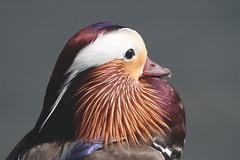 Mandarin duck (jlcummins - Washington State) Tags: duck wallawallacounty washingtonstate wallawalla aviary bird mandarinduck