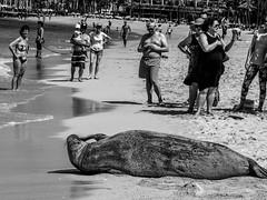 Itch (stefanmeinl) Tags: hawaii waikiki monkseal penf olympus beach