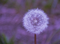 Dandelion Geometry (SimplyCMB) Tags: dandelion flowerhead gonetoseed seedpod geometric sphere wildflower nature wish