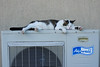 Pouf souffre de la canicule (bernarddelefosse) Tags: chat pouf chaleur canicule