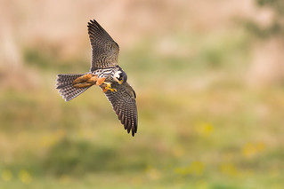 Hobby lunching on a Mayfly.