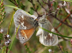 "Large Heath butterflies. • <a style=""font-size:0.8em;"" href=""http://www.flickr.com/photos/92040806@N06/35292100855/"" target=""_blank"">View on Flickr</a>"