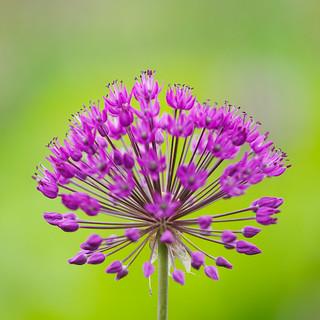 Allium queen