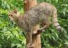 european wild cat anholt BB2A2489 (j.a.kok) Tags: kat cat europesewildekat europeanwildcat wildekat wildcat anholt animal europe europa mammal zoogdier dier feline