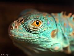 Rhapsody in Blue (WinRuWorld) Tags: iguana blue reptile canon60d ruthwinfield handheld portrait eye orange scales iguanidae captive pets animal creature fauna macro ef100mmf28lmacroisusm turquoise aqua watching focalpoint ngc lizard herpetology vertebrate npc texture canon