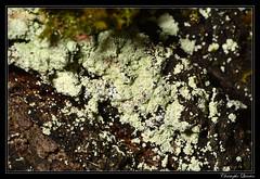 Lepraria incana (cquintin) Tags: fungi ascomycota lecanoromycetes lecanoromycetidae lecanorales stereocaulaceae lepraria incana