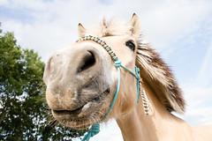 Meike I miss you (NL - Follows back but read profile first!) Tags: gidde fjord horse equine equestrian paard gelding meikevantilburg portrait smile hello bluesky edwinvantilburg gemeenteoss netherlands