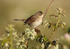 The whitethroat        (Sylvia communis) (GrahamParryWildlife) Tags: add tags beta mk2 7d 150600 sigma grahamparrywildlife uk kent rspb animal outdoor viewing photo flickr new sunlight depth field up blue dof kentwildlife marsh dungeness aquatic green canon whitethroat common bird