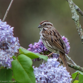 Song Sparrow with Lilacs - Roxbury, Connecticut (EXPLORE, June 20, 2017)