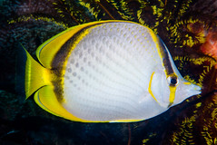 Yellow-dotted Butterflyfish - Chaetodon selene (zsispeo) Tags: selene chaetodon butterflyfish scuba diving tropical reef fish underwater macro macrophotography sea ocean holidays vacation summer beach relaxation d800e coral fauna wildlife wild geotagged science taxonomy travel sustainable life aquatic beautiful nature animal biology id identification souvenir living favorite natural padi rare saltwater turquoise blue conservancy quality escapade tourism wet outdoors