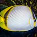 Yellow-dotted Butterflyfish - Chaetodon selene