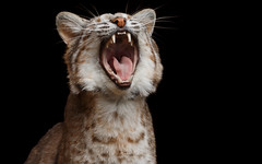 What's So Funny? (Adam West Photography) Tags: adamwest animal expensive price wildlife america bobcat camoflage cat fauna fur laugh lynx north nose rise rufus spots stripes teeth tongue whiskers