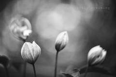 Black & White Buds (DefinitelyDreaming) Tags: lensbaby twist60 flowers floral bokeh buds blackwhite monotone spring