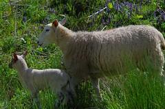 1398-32L (Lozarithm) Tags: pentax zoom k50 55300 hdpda55300mmf458edwr hillspools sheep