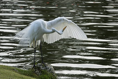 InspectioN (mariola aga) Tags: puntacana pond shore bird whiteheron wings feathers inspection cleaning closeup thegalaxy infinitexposure