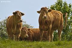 Cows on the hill (GerWi) Tags: kühe cows wiese hügel bergweide alm natur tiere fz1000