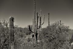 On the Garwood Trail in Saguaro National Park (Black & White) (thor_mark ) Tags: nikond800e saguaronationalpark saguaronationalparkrinconmountaindistricteast day2 lookingwest blackwhite silverefexpro2 capturenx2edited colorefexpro desert desertlandscape sonorandesert saguaro cactus carnegieagigantea saguarocactus arborescenttreelikecactus cactusacrossdesertlandscape desertplantlife outside nature sunny blueskies landscape garwoodtrail cactusflowers cactusflowersontop project365 arizona unitedstates