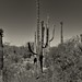 On the Garwood Trail in Saguaro National Park (Black & White)