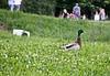 Donald duck/Patak Dača (salaminijo) Tags: duck patka bird animal animals outdoor ptica životinja canon nature light riverside zemun serbia srbija europa evropa bgd beograd